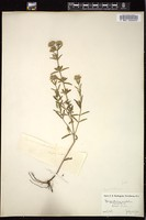 Thumbnail for <i>Pycnanthemum aristatum</i> <i></i> ...