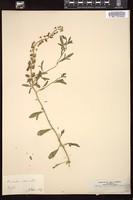 Thumbnail for <i>Reseda odorata</i> <i></i> …