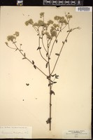 Thumbnail for <i>Eupatorium pilosum</i> <i></i> …