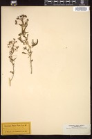 Thumbnail for <i>Cleome tenuifolia</i> <i></i> …