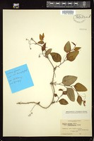 Thumbnail for <i>Smilax glauca</i> <i></i> …