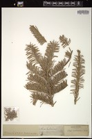 Thumbnail for <i>Abies balsamea</i> <i></i> ...