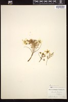 Thumbnail for <i>Limnanthes douglasii</i> <i></i> ...