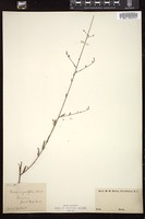 Thumbnail for <i>Gaura angustifolia</i> <i></i> ...