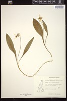 Thumbnail for <i>Erythronium americanum</i> <i></i> …