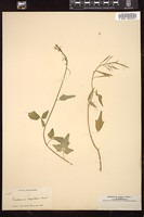 Thumbnail for <i>Cardamine angulata</i> <i></i> ...