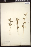 Thumbnail for <i>Epilobium alpinum</i> <i></i> …