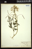 Thumbnail for <i>Cleome grandiflora</i> <i></i> …