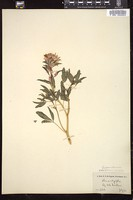 Thumbnail for <i>Cleome integrifolia</i> <i></i> …