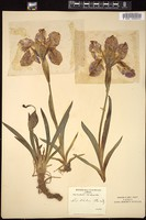 Thumbnail for <i>Iris italica</i> <i></i> ...