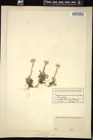 Thumbnail for <i>Antennaria dioica</i> <i></i> …