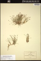 Thumbnail for <i>Eleocharis aciculariformis</i> <i></i> …