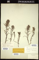 Thumbnail for <i>Castilleja breviflora</i> <i></i> …