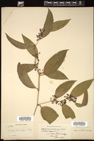 Thumbnail for <i>Smilax domingensis</i> <i></i> …