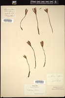 Thumbnail for <i>Colchicum alpinum</i> <i></i> ...
