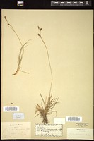 Thumbnail for <i>Carex sempervirens</i> <i></i> ...