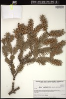 Thumbnail for <i>Abies coahuilensis</i> <i></i> ...