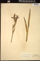Thumbnail for <i>Iris bohemica</i> <i></i> ...