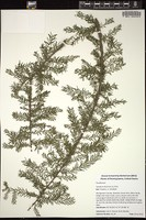 Thumbnail for <i>Taxodium distichum</i> <i></i> ...