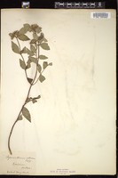 Thumbnail for <i>Pycnanthemum albescens</i> <i></i> ...