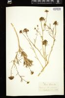 Thumbnail for <i>Iberis odorata</i> <i></i> ...