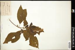 Thumbnail for <i>Clethra acuminata</i> <i></i> …