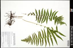Thumbnail for <i>Parathelypteris noveboracensis</i> <i></i> ...