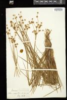 Thumbnail for <i>Juncus acuminatus</i> <i></i> ...