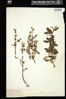 Thumbnail for <i>Shepherdia canadensis</i> <i></i> ...