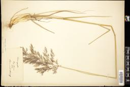 Thumbnail for <i>Calamagrostis </i> <i></i> …
