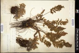 Thumbnail for <i>Cheilanthes covillei</i> <i></i> …