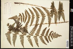 Thumbnail for <i>Dryopteris boottii</i> <i></i> …