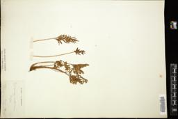 Thumbnail for <i>Cryptogramma acrostichoides</i> <i></i> ...
