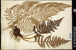 Thumbnail for <i>Dryopteris arguta</i> <i></i> …