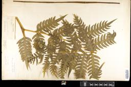 Thumbnail for <i>Pteris gigantea</i> <i></i> …
